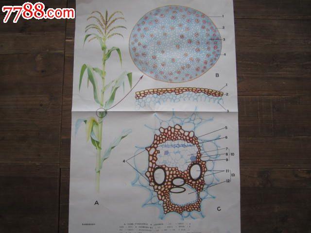 草本植物茎的结构/植物部分(上辑)