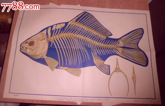 鲫鱼实验手绘图