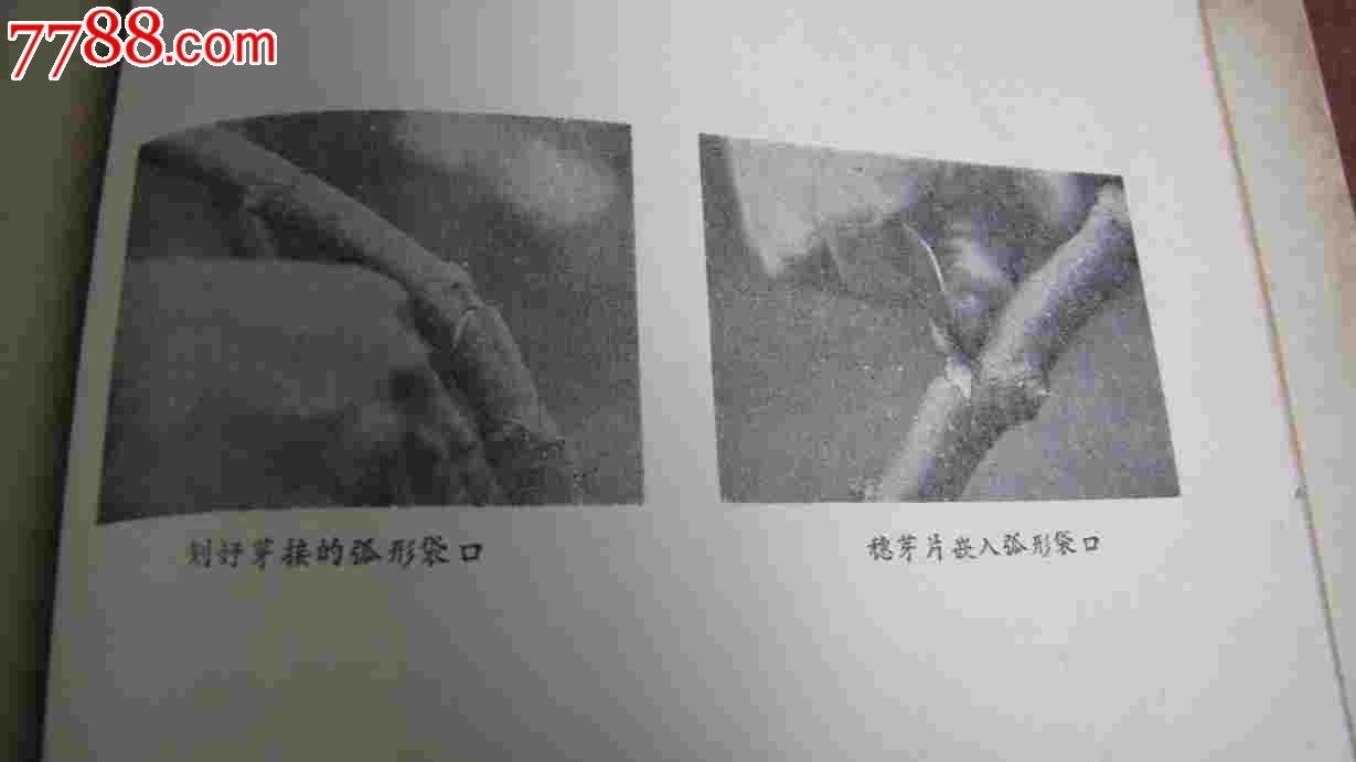 **桑树嫁接技术**(四川农业局1973带5页图片)