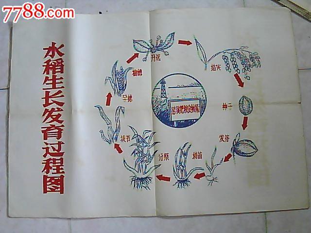 五十年代水稻生长发育过程挂图图片