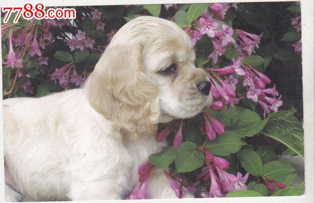 外国原版明信片英国动物狗