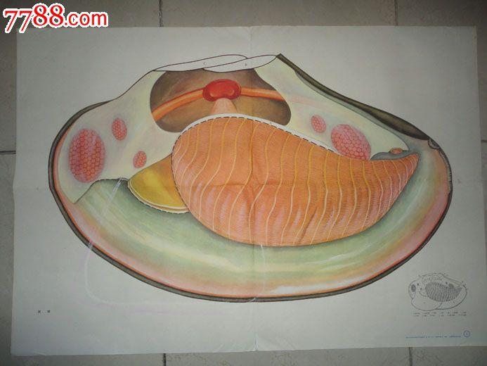 河蚌的图片简笔画图片